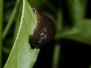 Slug Eating Chilli