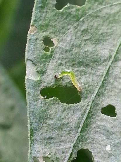 Caterpillar eating chilli plant