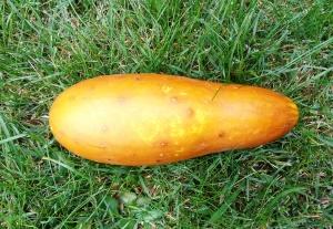The Poona Kheera Indian cucumber