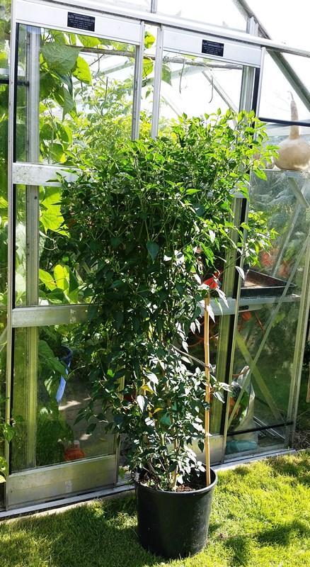 Piri Piri Plant