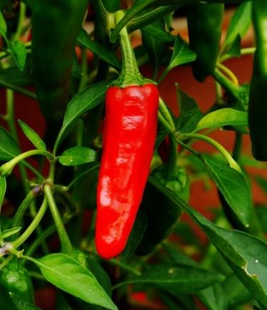 Apache Chilli
