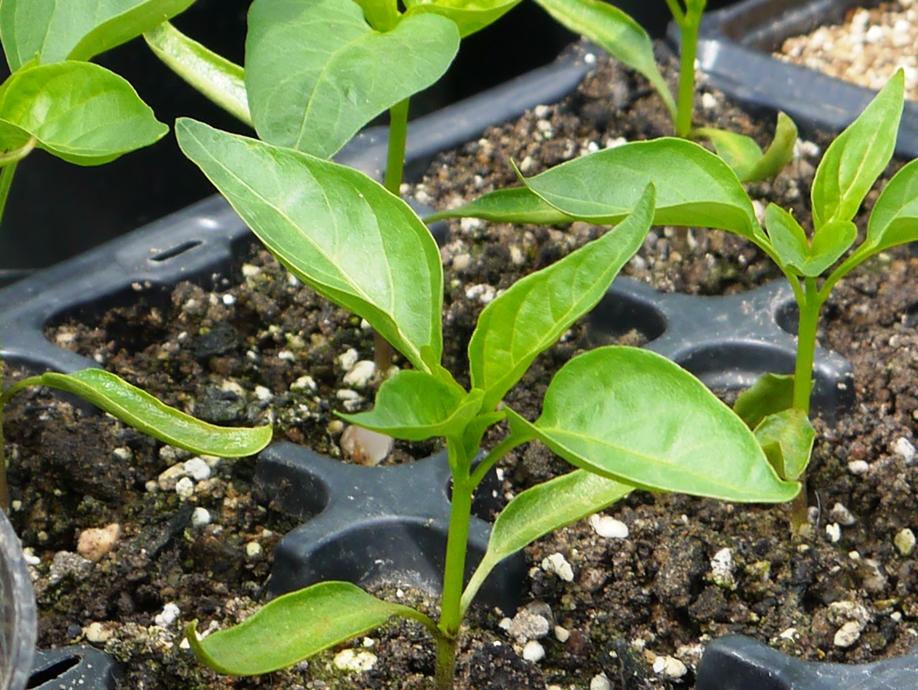 Chilli Seedlings - From the book 'Growing Chillies'