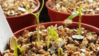 Newly emerged chilli seedlings