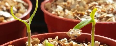 New Chilli Seedlings
