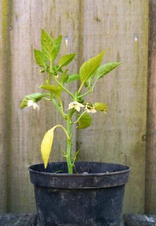 A Miserable Chilli Plant